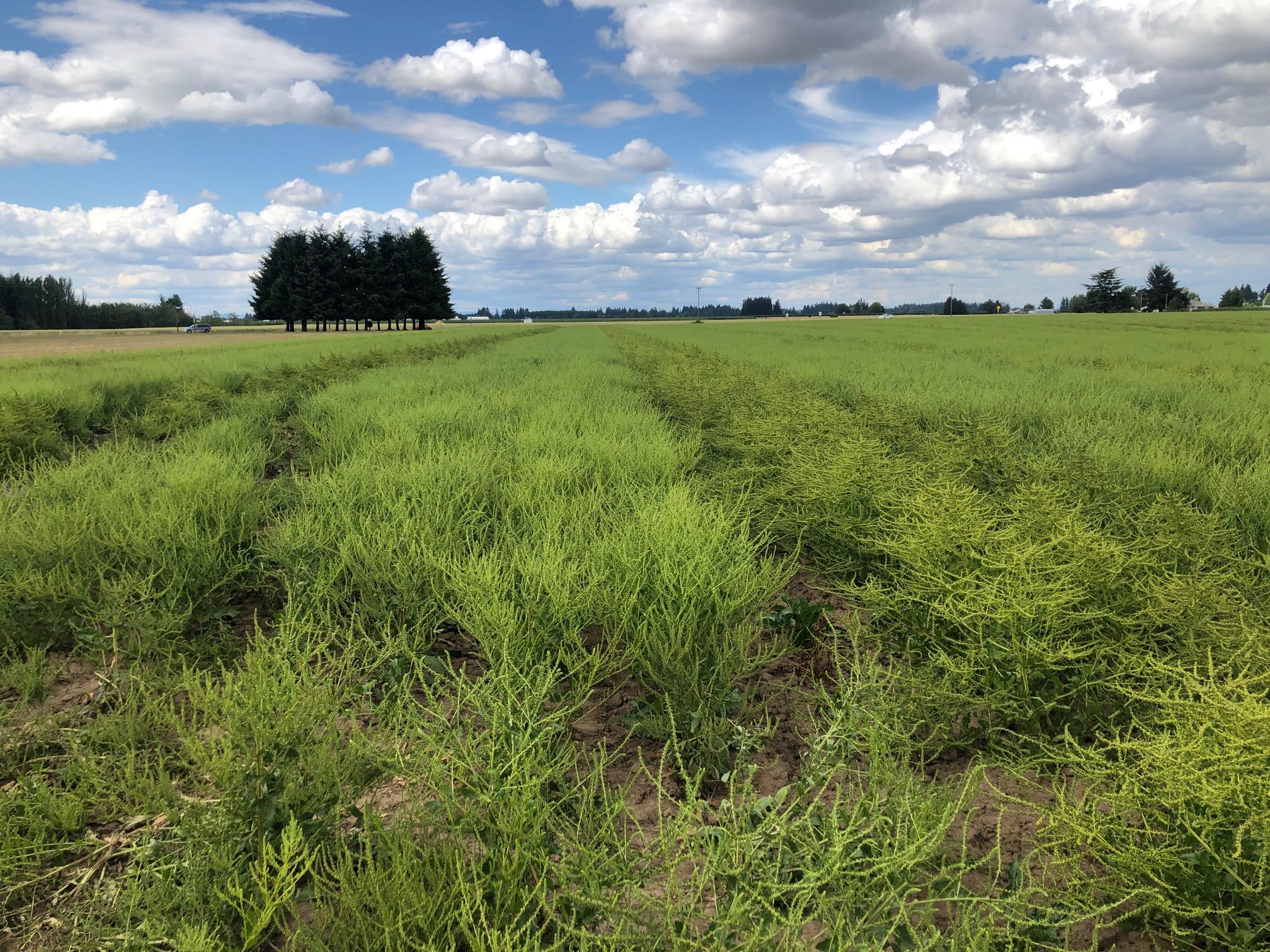 Sugar-beet-seed-field